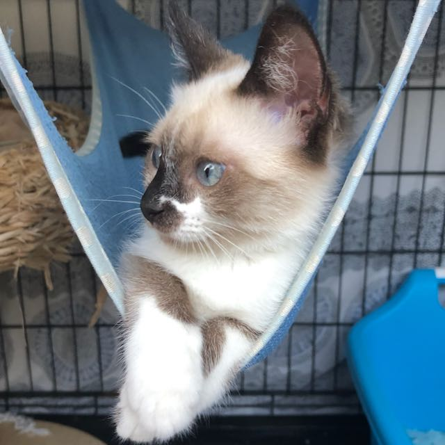siamese kitten in hammock